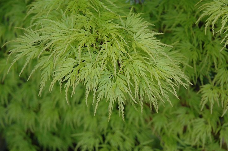 Seiryu Japanese Maple (Acer palmatum 'Seiryu') at Oakland Nurseries Inc
