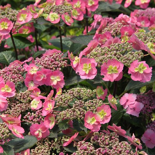 Tuff Stuff™ - Reblooming Mountain Hydrangea - Hydrangea serrata (More hardy than mopheads, part shade ok - invicibelle needs sun?)