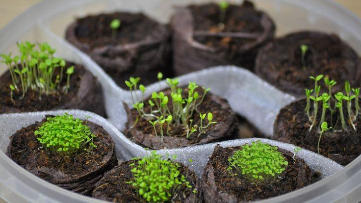 Посев петунии и лобелии(ч.1) ❀ петуния из семян ❀ торфяные таблетки ❀ ка...