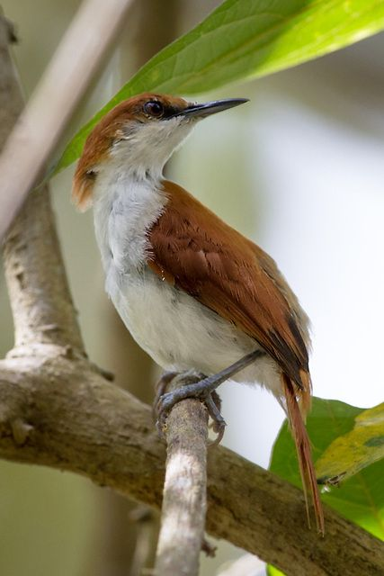 """Red-and-White Spinetail(Certhiaxis mustelinus).   [""""João da canarana (Certhiaxis mustelinus).""""]           Google search: """"TheRed-and-White Spinetail(Certhiaxis mustelinus) is a species of bird in the familyFurnariidae, theOvenbirds. It is found in theAmazon Basinof Brazil andPeru; also the southernAmazon Riverborder ofColombia and the headwaters of the Madeira River inBolivia. Its naturalhabitatsare rivers andswamps. Wikipedia."""""""