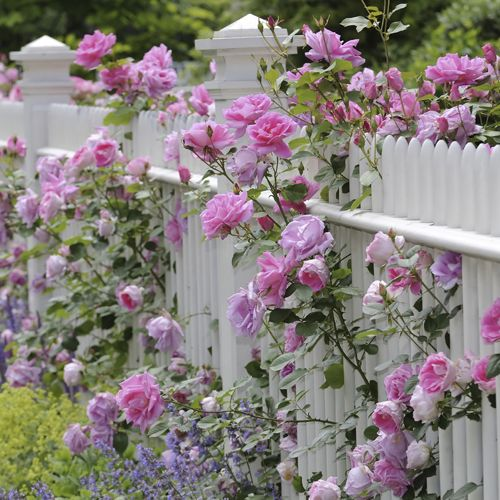 simply beautiful.... wooooow!!! another pin of climbing roses on a white vinyl fence.... just looooooooooooove these pins, can't get enough of them!!!