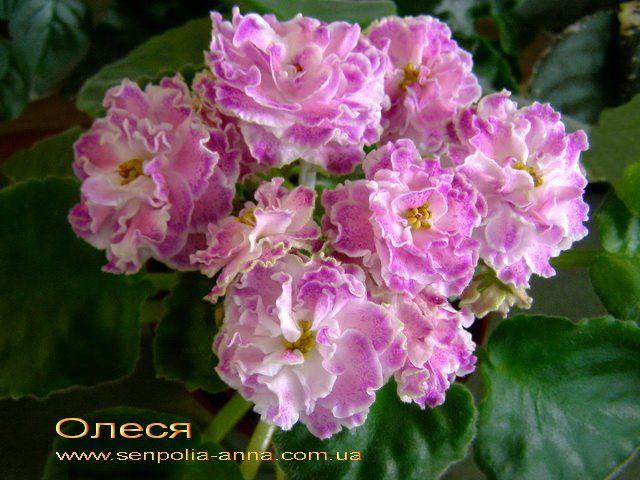 Олеся.  сеянец Морева.Крупные необычного цвета ярко-тёпло-розово-неоновые полумахровые и махровые цветы с белым глазком и контрастная вишнёвой крапчатой каймой.