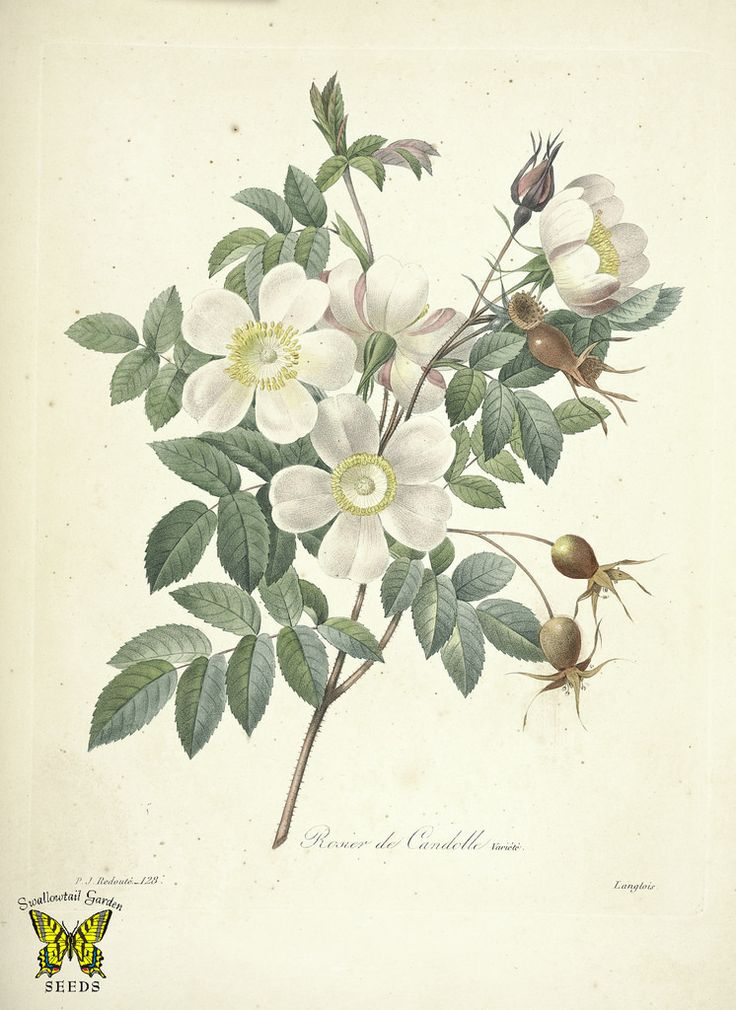Rosier de Candolle by P.J. Redouté (1827-1833)   From the botanical illustration collection of Swallowtail Garden Seeds. This image is in the public domain. Right click to download. Use as you choose.