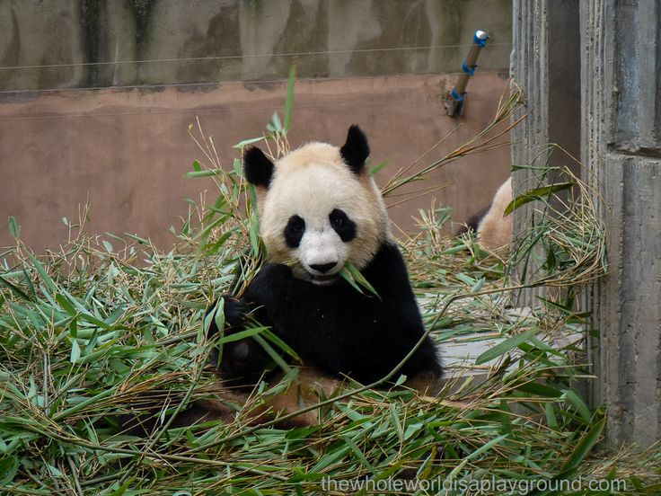 Panda Watch! Chengdu Research Base of Giant Pandas, China via @thewholeworldis