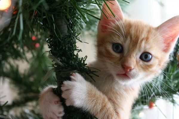 49 best christmas kitties images on pinterest christmas animals its officially on cat vs christmas tree its that time of the year again the family cat is already plotting how it will conquer the christmas tre spiritdancerdesigns Choice Image