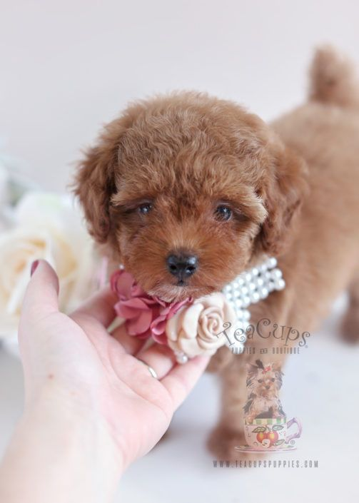 Toy Poodle Puppy For Sale #049 South Florida