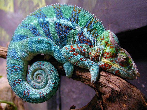 Chameleon: Animals, Chameleons, Nature, Colors, Beautiful, Creatures, Reptile, Lizards