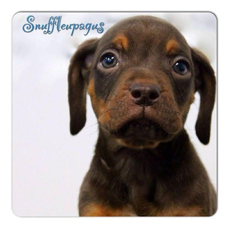 The Sesame Street LitterHi I'm Snuffleupagus, a 7 week old pug/beagle mix