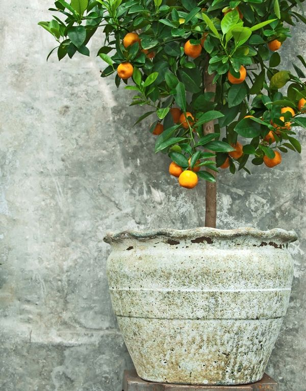 Apartment Living: Indoor Plants & Pots  |  3. GET A MINIATURE FRUIT TREE - Many garden shops and nurseries have miniature fruit trees available. Common varieties are tangerines, lemons, and apricots. It's a wonderful way to brighten up your living space. If you have the space and the time, tending a fruit tree can be a very rewarding process.