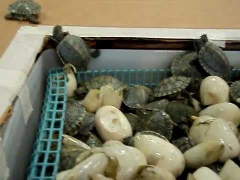 Pet Turtles hatching and coming out their shells ll with a two headed turtle