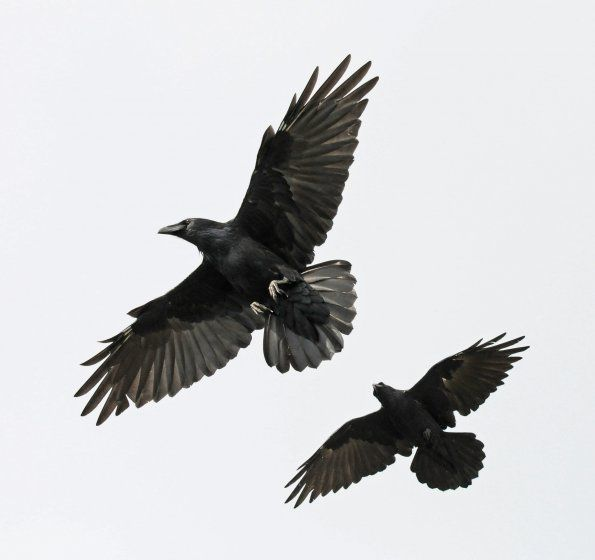 Image result for image crows flying