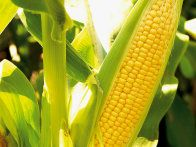 Learn how to freeze corn on the cob with tips from the experts at HGTV Gardens, and you'll enjoy summer-fresh flavors no matter the season.