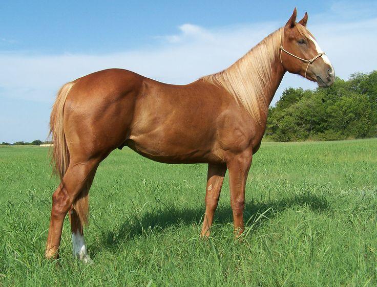 Flaxen Chestnut Quarter Horse - photo#6