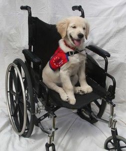 This Labrador puppy in Service dog training is a little confused as to what his role is here....LOL !!!  Love It!!Golden Puppies, Little Puppies, Dog Training, Dogs Training Hmmm, Confused, Service Dogs Training, Adorable, Labrador Puppies, Golden Retriever Puppies