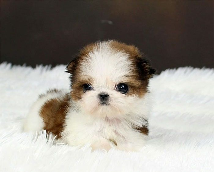 Teacup Shih Tzu Small Cute And Adorable Dog Cute Dogs