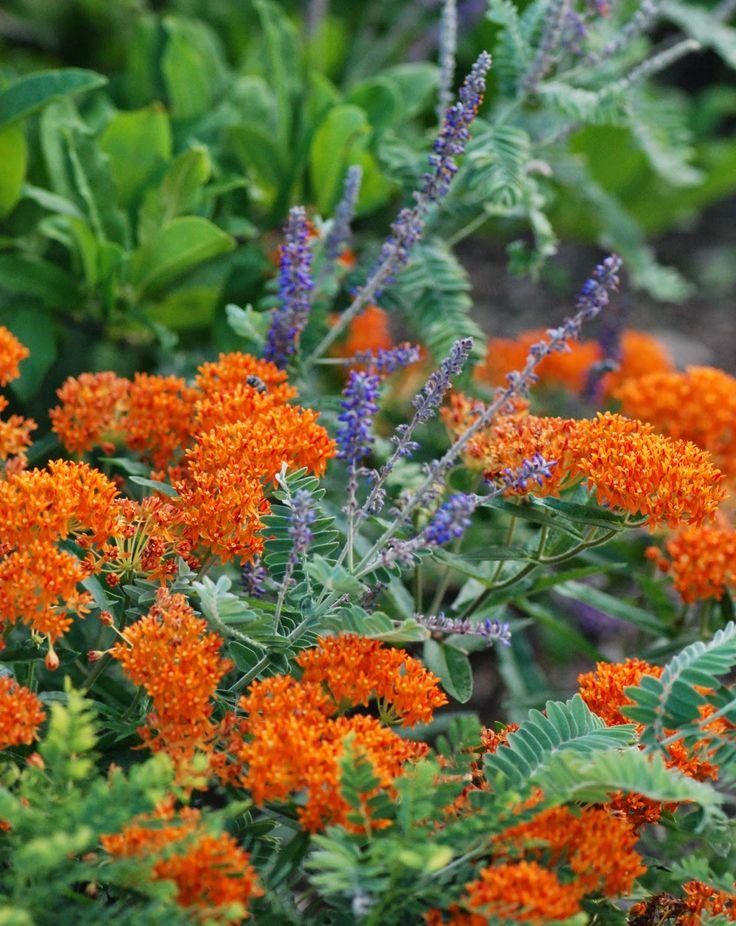 butterfly garden plant combo purple leadplant amorpha canescens u0026 orange butterfly weed