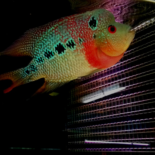 17 best images about freshwater fish on pinterest for Freshwater dragon fish