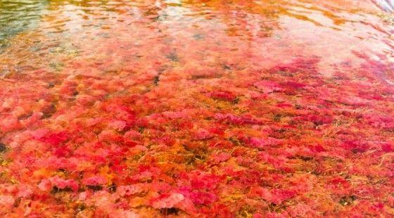 Indahnya Sungai Cano Cristales Columbia