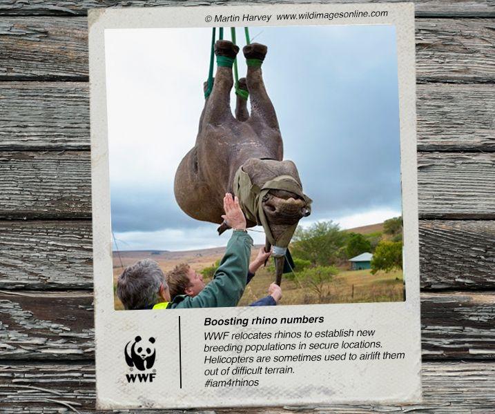 WWF's Black Rhino Range Expansion Project relocates rhinos to establish breeding populations in new locations. #iam4rhinos