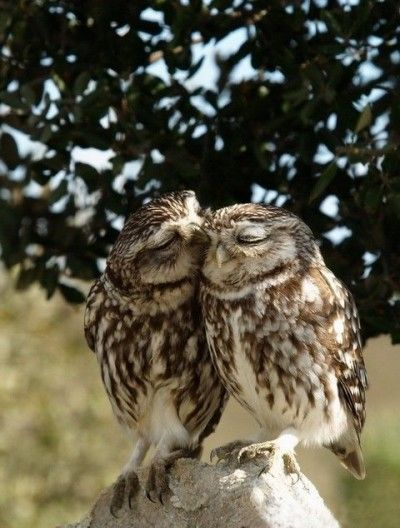 These owls are real love birds!