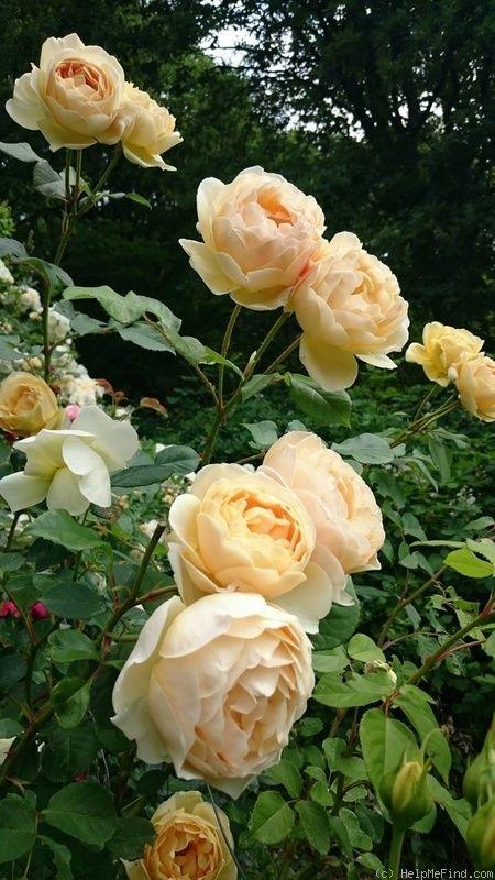 927 best roses images on pinterest. Black Bedroom Furniture Sets. Home Design Ideas