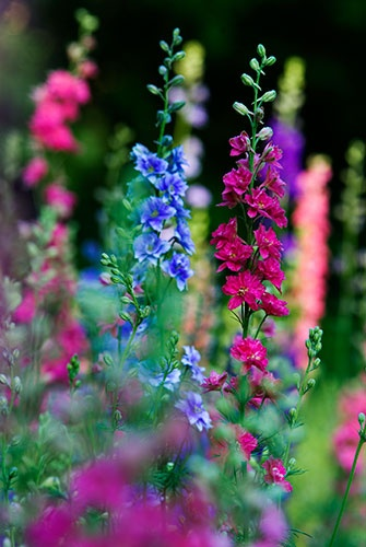 Larkspurs look like Delphiniums only they're annuals and grown by seed. They will self-sow; if you're lucky.