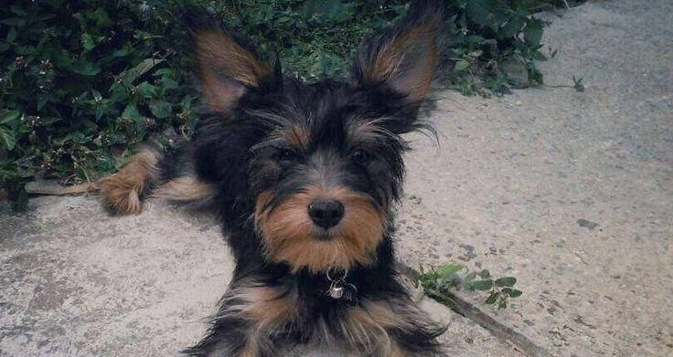 Una maravillosa raza de perros: Yorkshire Terrier