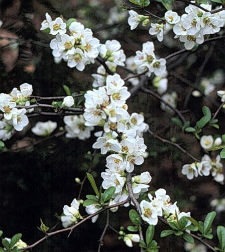 Chaenomeles speciosa 'Nivalis' -- Japanese quince. Good trained against a wall or hedge. White flowers in winter. Vigorous shrub