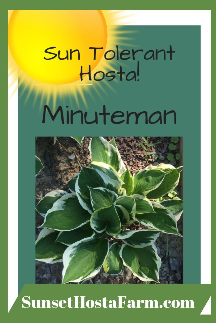 Minuteman Hosta If You Want A Striking Hosta That Really Stands Out