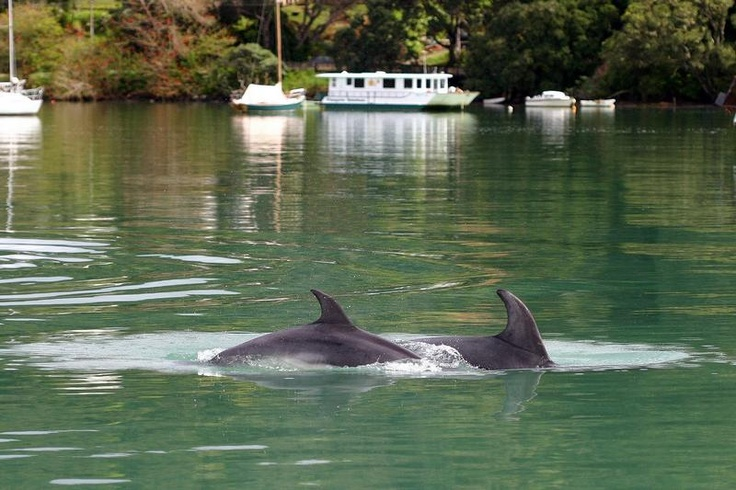 Dolphins with Maple Leaf on Totara North mooring