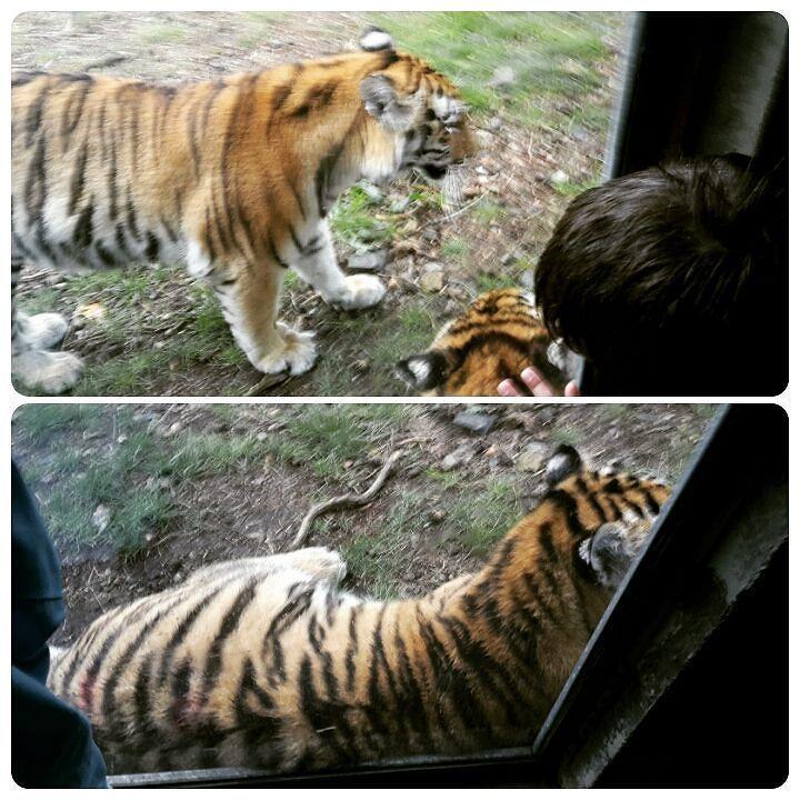 Tigring på særdeles nært hold! Tiger Major Close up!