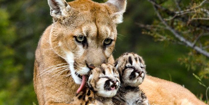 Cuerpo de un ejemplar de Puma concolor, fue trasladado al Museo de Historia Natural de Valparaíso, para su conservación.   Madre puma con sus cachorros Fotografía: Diego  Araya Castro
