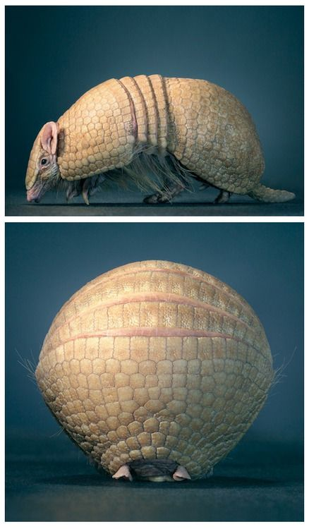 One amazing creature, that armadillo. Striking portrait by photographer Tim Flach.  (↬ Radiolab)