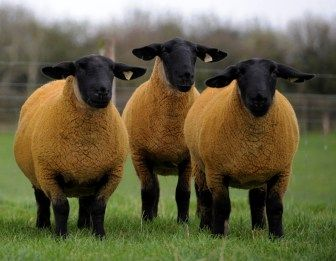 This weekend is set to be another busy one for pedigree sheep fans with two major sales happening either side of the Irish Sea. Across the water in Eire Tom Bailey will hold the 12th annual production sale from his Baileys flock of pedigree Suffolks, with 65 shearling ewes and 31 flock age ewes on …