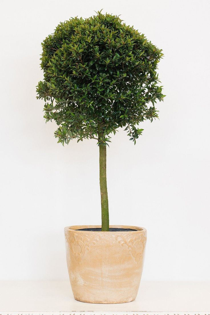 Eugenia Topiary Tree (1-ball) - 10 inch pot / 1-ball tree - 10 inch pot / 1-ball tree - 10 inch pot / 1-ball tree
