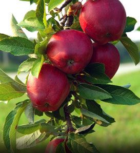 Apple, Red Jonathan Malus x domestica; A late-ripening red apple is fine for fresh eating, freezing and cooking. Fruit trees need a minimum of 6-8 hours sunlight daily, and need water. They are not drought tolerant. (Pollinate with Red or Yellow Delicious or Early Harvest) (zones 4-8)