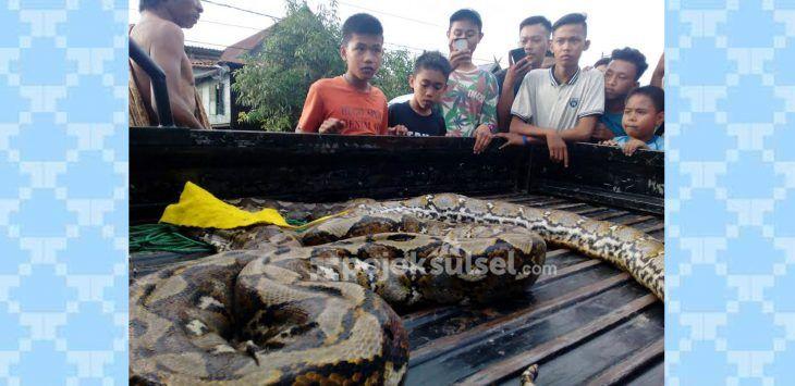 ular-piton-besar-ditangkap-di-pinrang