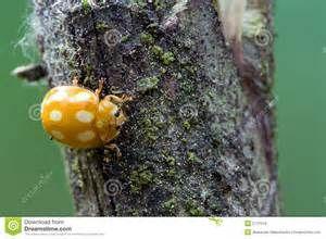 Poisonous Ladybugs - Bing Images