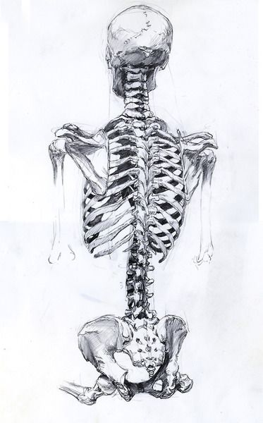 35 best skeleton references images on pinterest | human anatomy, Skeleton