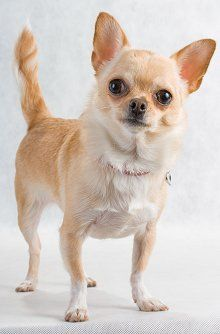 Chihuahuas: What's Good About 'Em, What's Bad About 'Em. Temperament, personality, traits and characteristics.