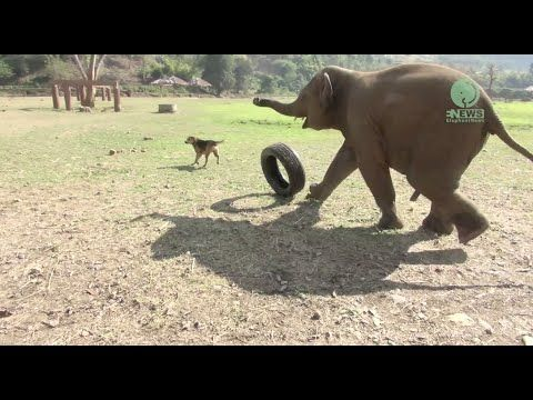 Baby Elephants Gleefully Play With Anything or Anyone That Crosses Their Lively Paths