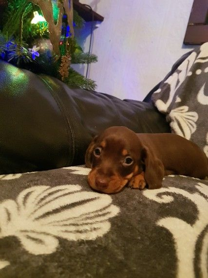 Blue Miniature Dachshund Puppies Dachshund Puppies Dogs Dachshund