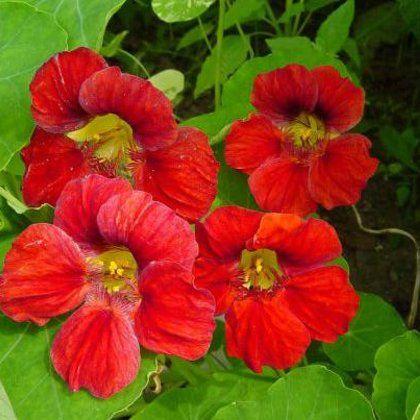 Настурция: посадка семян и уход за вьющимися цветами различных сортов