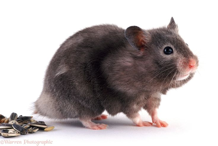 Blaclk Syrian Hamster