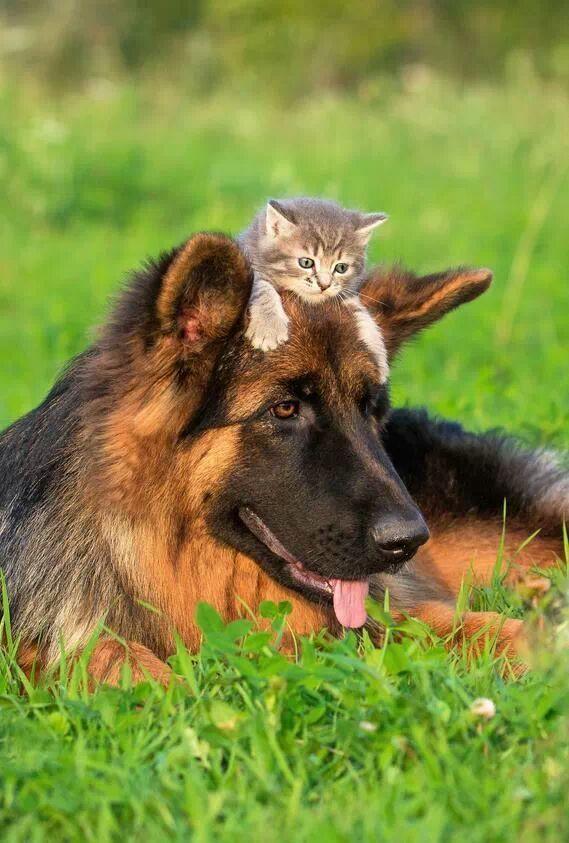 german shepherd kitty friendship