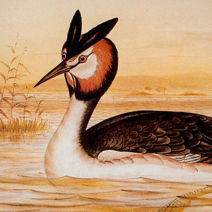 Józef Gracjan Brojnowski  Ptaki Australii