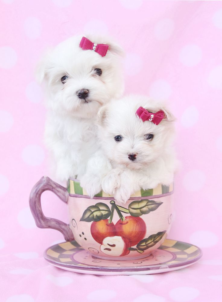 Maltese puppies for sale in miami fort lauderdale fl