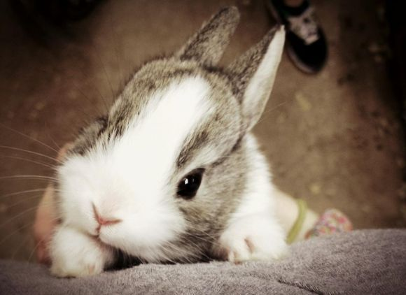 Newborn Grey Dutch: Amazing Bunnies, Animals, Grey Dutch, Pets, Amazing Creatures, Sweet Creatures