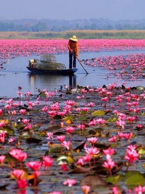 Lake of Lotus Flowers...Lake Nong Harn, Thailand