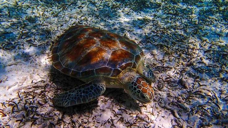 See the turtles in the Maldives at Biyadhoo Island, which has a PADI diving school and nearby diving spots! | Luxury Travel Agents Birmingham UK